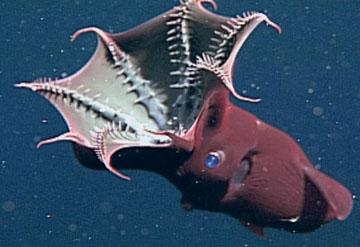 Squid Funnel Vampire Squid |...